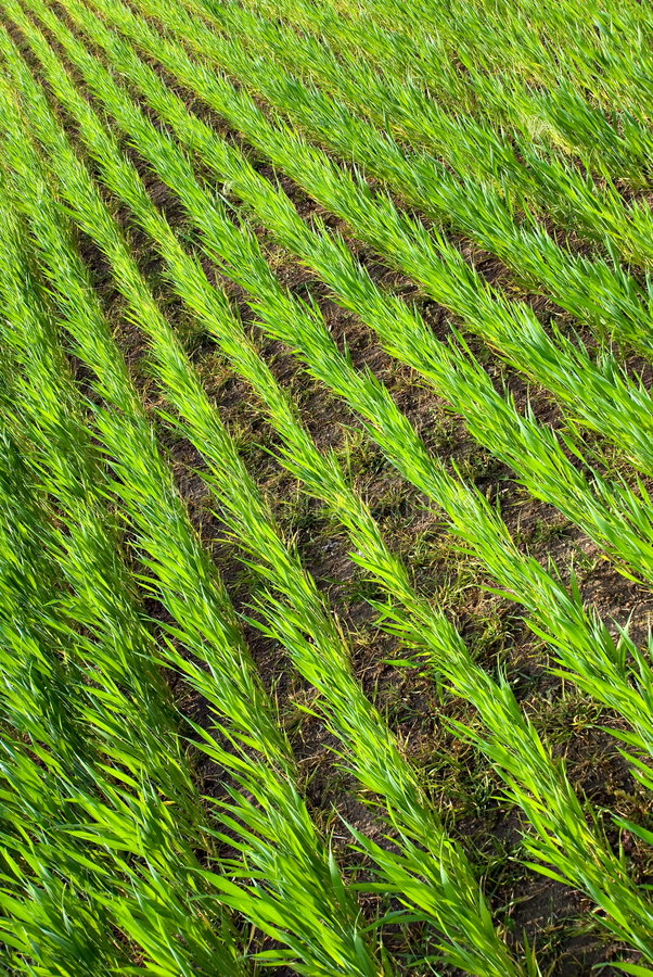 Download Young grain stock photo. Image of green, nature, converging - 5330412