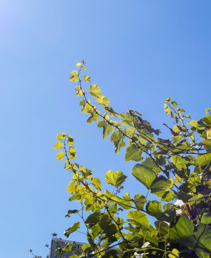 Young grape branches reaching high towards the sun. stock photos