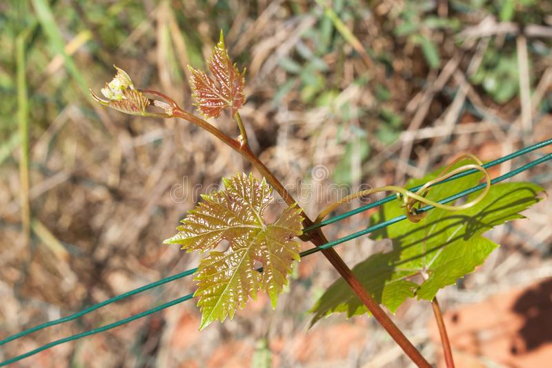 Young grape leaves in the vineyard. Growing grapes in the vineyard. Growing wine for sale. Young grapes on the vine. stock images