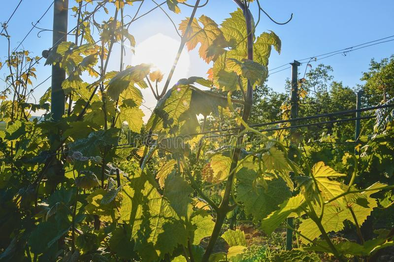 Young grapevine in wineyard. Close-up of grapevine. Wineyard at spring. Sun flare. Vineyard landscape. Vineyard rows a royalty free stock images