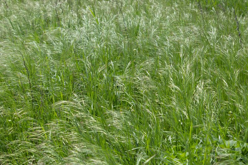 Young grass densely spikes in the spring in the meadow.  royalty free stock image