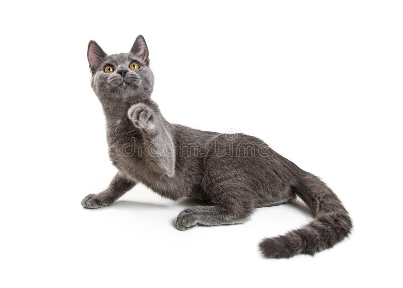 Playful Young Grey Cat Raising Paw to Bat. Young gray cat on white background looking up and raising paw up to bat and play royalty free stock photography