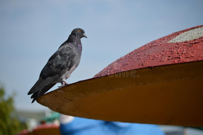 Young gray dove on the roof. Interesting photo. Dove in the park stock photo