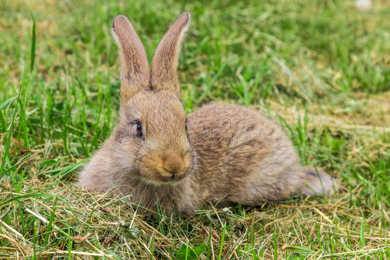 Young gray rabbit on green grass. royalty free stock images