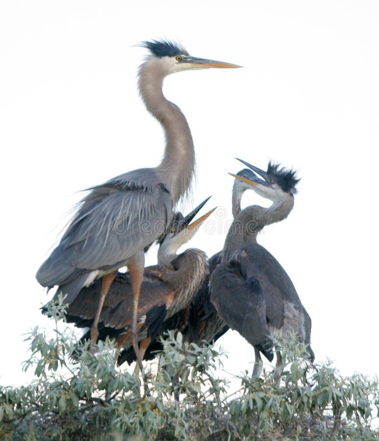 Young Great Blue Heron Birds royalty free stock images