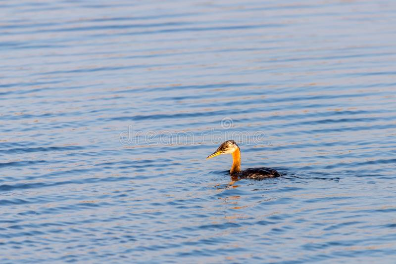 The young great crested grebe or Podiceps cristatus swims in beautiful blue water. Animal, background, beak, beauty, bird, fauna, feathers, fowl, lake, nature royalty free stock photo