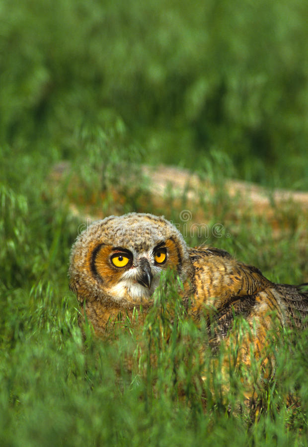 Download Young Great Horned Owl stock image. Image of night, owlet - 11802363