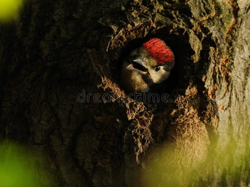 Young Great Spotted Woodpecker royalty free stock photography