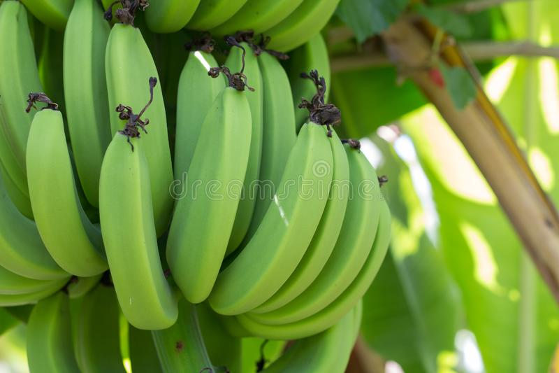 Young green banana on tree. Unripe bananas close up stock photos