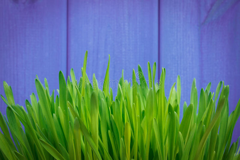 Young green barley grass on purple background stock photo