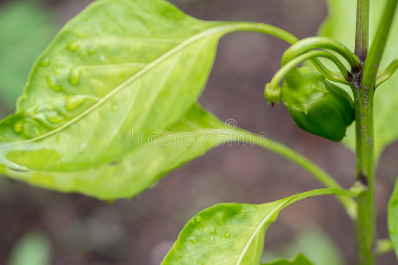Young green bell pepper royalty free stock photography