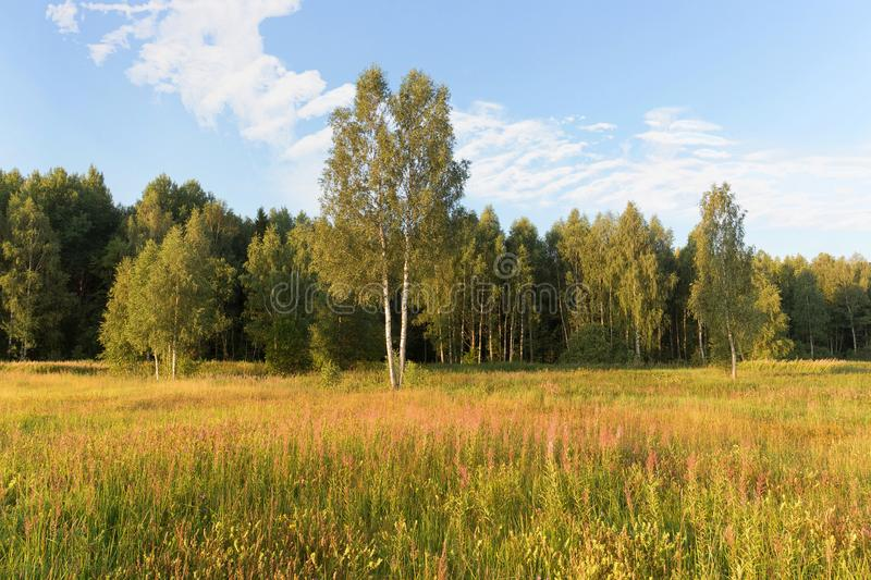 Young green birches in a meadow at the edge of the forest on a clear Sunny morning. Clouds in the sky and a flowering meadow. royalty free stock image
