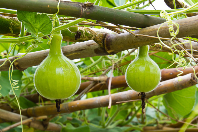 Young green calabash stock photo