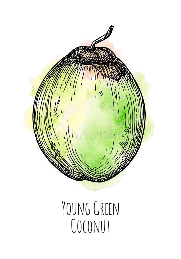 Ink sketch of young green coconut. vector illustration