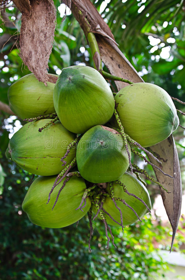 Download Young green coconuts stock photo. Image of leaves, organic - 37461972
