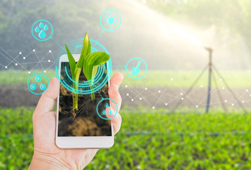 Young green corn field in agricultural garden and light shines s. Hand using mobile phone inspecting young green corn field in agriculture garden and light stock image