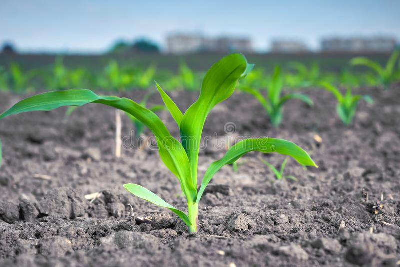 Young green corn plant against the background of urban buildings stock images