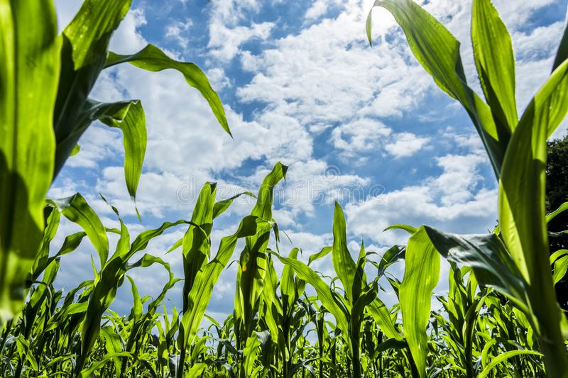 Young green corn plants on farmland - extreme low angle shot. Worms-eye view royalty free stock photos
