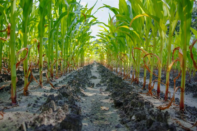 Young green corn plants growing on farm field in rows. Close up royalty free stock photo