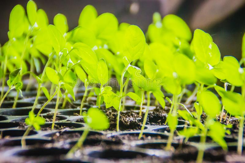 Young green eggplant seedlings growing in the black plastic pots. sprouts of eggplants grown from seeds. Eggplant seedlings in far royalty free stock photo
