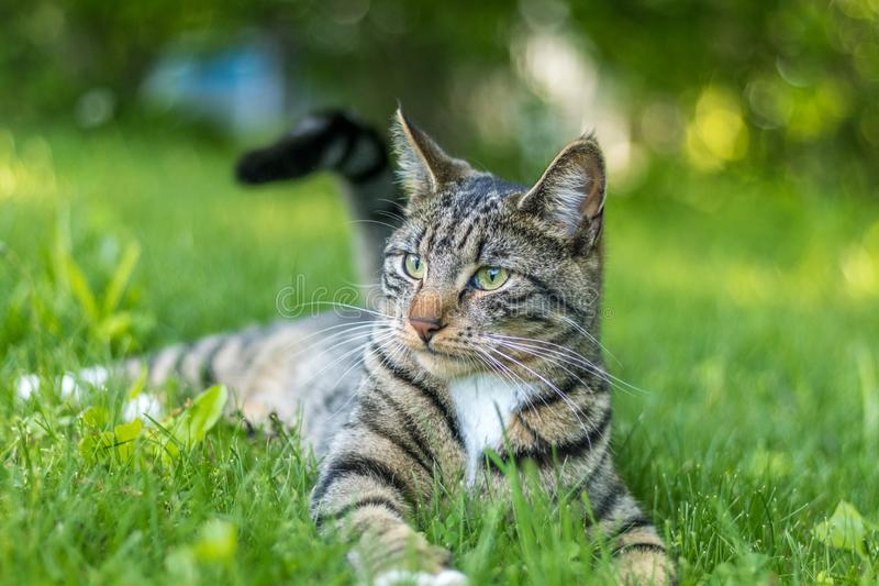Young green-eyed Mackerel Tabby Cat frolicks in the grass on a late spring afternoon stock photo