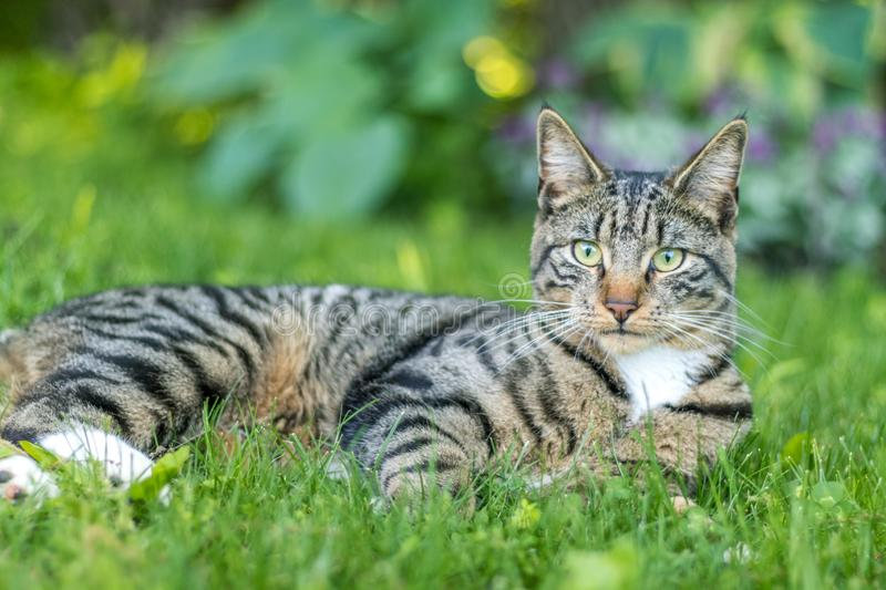 Tabby Cat portrait n green grass on a late spring afternoon royalty free stock images