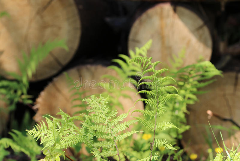 Young green fern leaves growing amongst sawn tree trunks. Young green fern polypodiophyta leaves growing amongst sawn tree trunks stock image