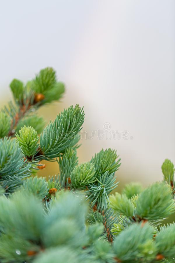 Young green fir tree branch in spring time in the garden. Nature blurred beautiful background. An overly shallow depth of field. stock photography