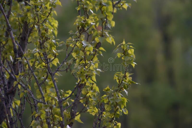Young green foliage poplar close-up stock photo