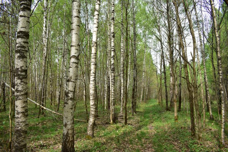 Young green forest thin trees of birch and oak trees beautifully lined up along the trail stock photography