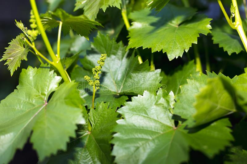 Young green grape branches on the vineyard in spring time.  stock images