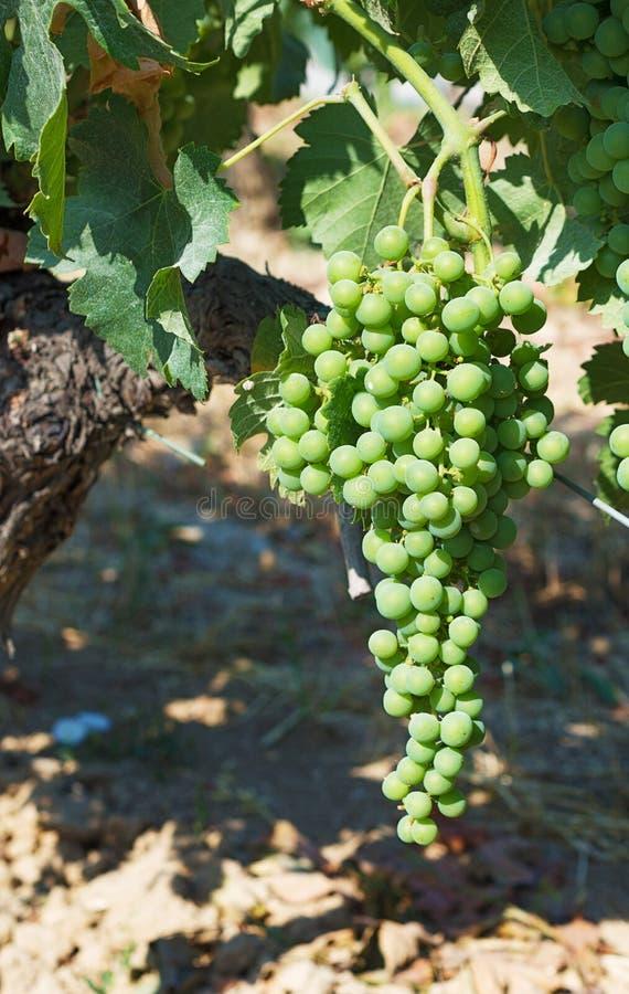 Young green grape stock photos