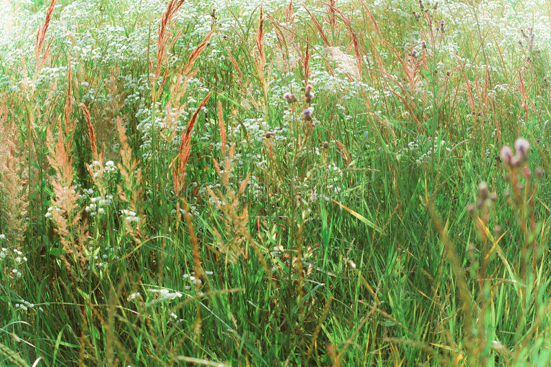 Growing green grass royalty free stock image
