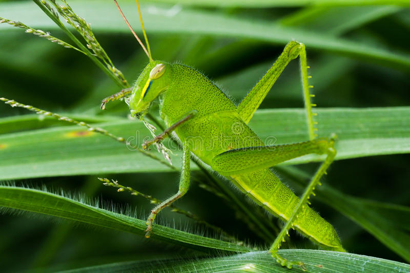 Young Green grasshopper eating grass stock photography