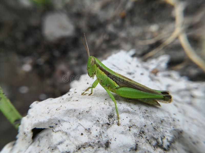 Young green grasshopper latin name Melanoplus bivittatu on white stone. Young green grasshopper latin name melanoplus bivittatu white stone insect macro  no royalty free stock photography