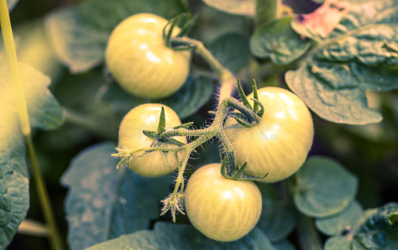 Young green growing tomatoes on stem stock images