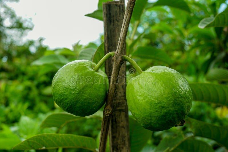 Young green guava fruit Hang on the guava tree. Psidium guajava stock image
