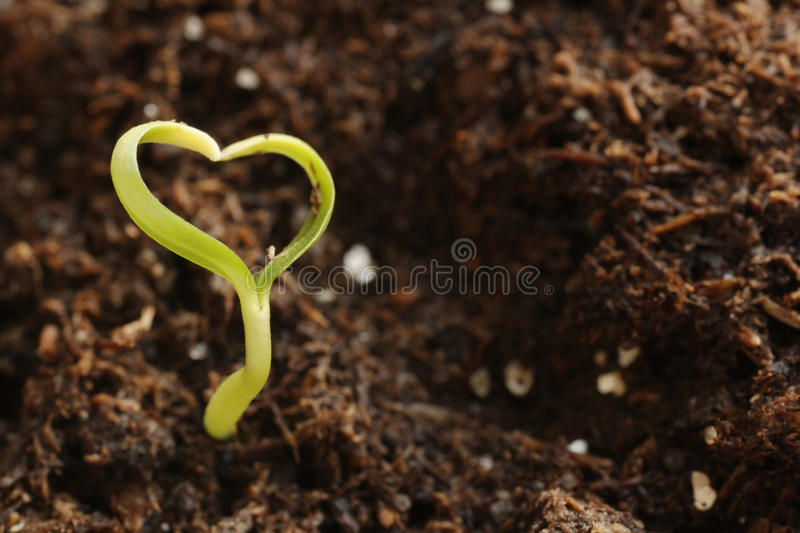 Young Green Heart-Shape Plant stock image
