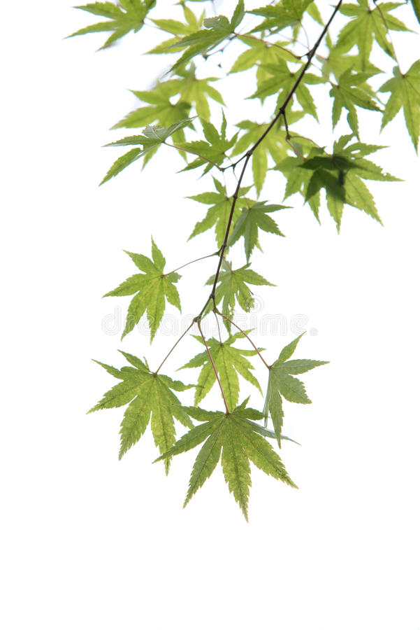Young green Japanese maple tree leaves illuminated by sunlight o stock photo