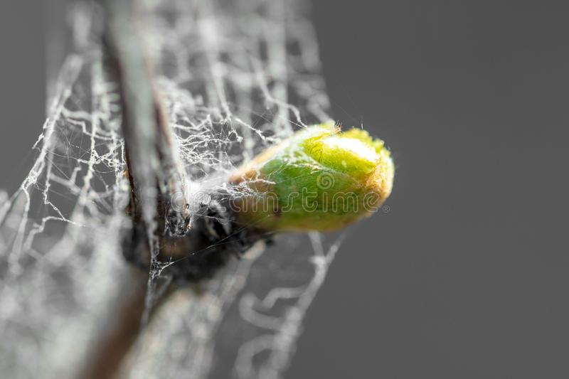 Young green leaves on grapes in spring royalty free stock photo