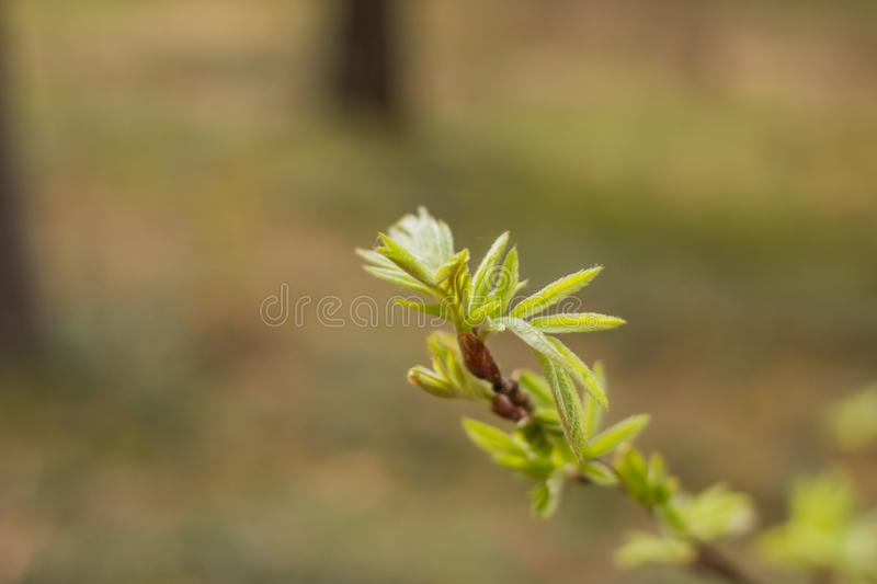 Young green leaves of mountain ash in early spring. Beginning of springtime. Shallow depth of field, blurred background. Young green leaves of mountain ash in royalty free stock photo