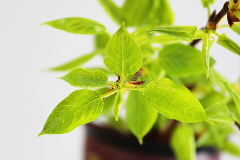 young green leaves on poplar branches tree Populus. royalty free stock images