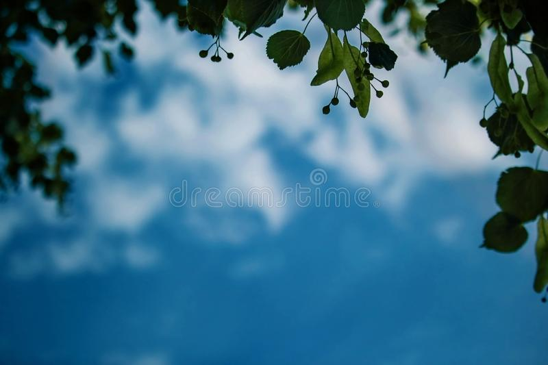Young green linden branch with leaves and seeds framing a blue sky with clouds royalty free stock photography