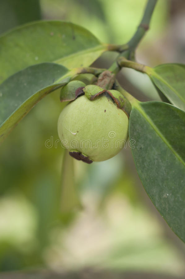 Young Green Mangosteen. Stock Photo