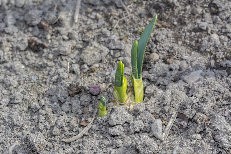 Young green onion sprouted on the field New life cycle. Organic farming. Vegan stock photo