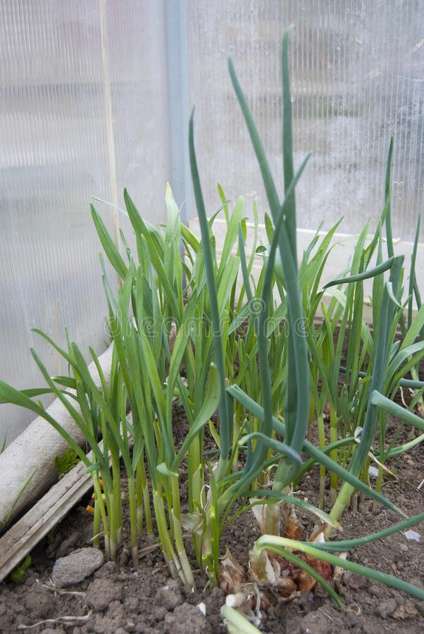 Young green onions and garlic grow in the greenhouse royalty free stock image