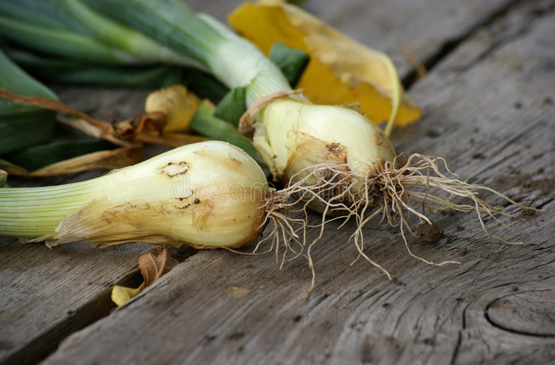Young green onions royalty free stock photography