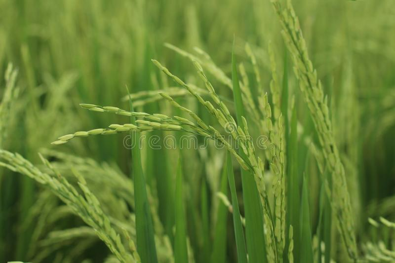 Young green paddy closeup. Fresh rice field. Agriculture background with copy space stock photography