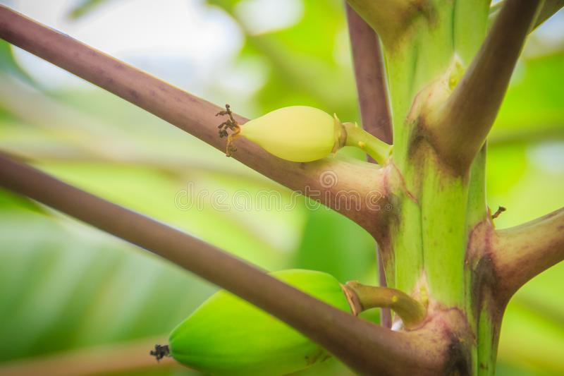 Young green papaya fruits on treetop. Organic raw green papaya o royalty free stock images