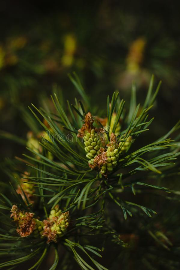 Young green pine cone on a branch stock image